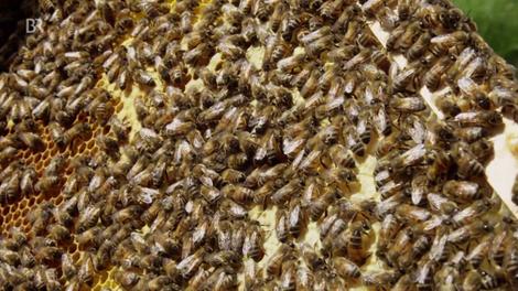 Pseudo-Verbot von Insektiziden: Warum die Bienen weiter sterben