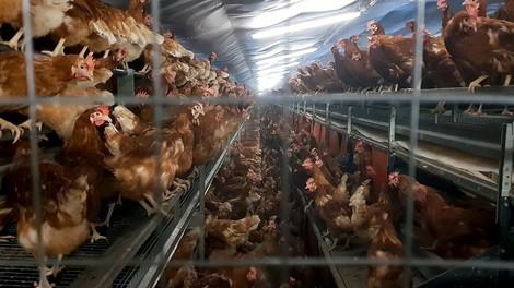 Armes Huhn, armer Mensch - Massentierhaltung und ihre Alternativen