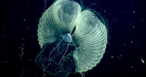 Wie Tiefseetiere im Schleimhaus leben: Neue Laserverfahren geben erstmals faszinierende Einblicke