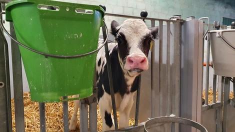 Wegwerftiere – die Schattenseite der Milchwirtschaft